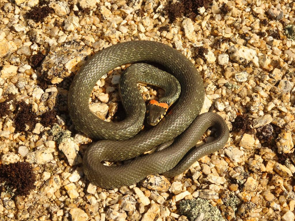 змеи казахстана фото и описание