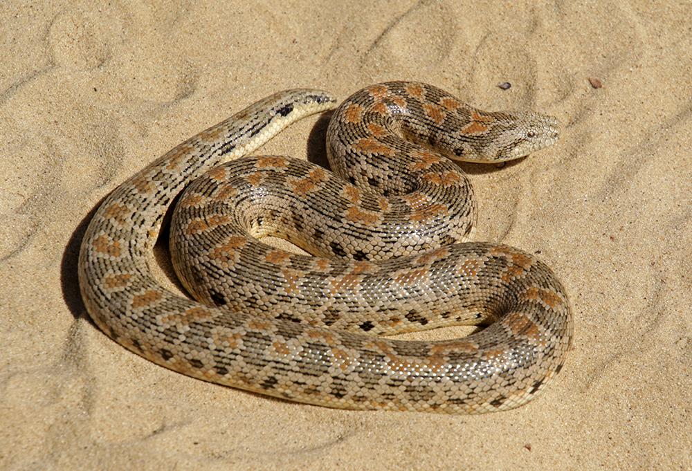 песчанка фото змея прочтения