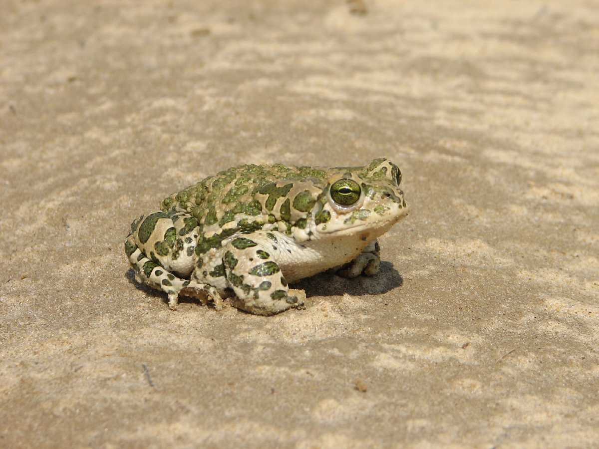 зеленая жаба фото и описание всего оно
